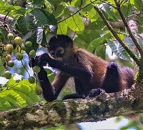 Spider Monkey - Ateles geoffroyi_3.jpg