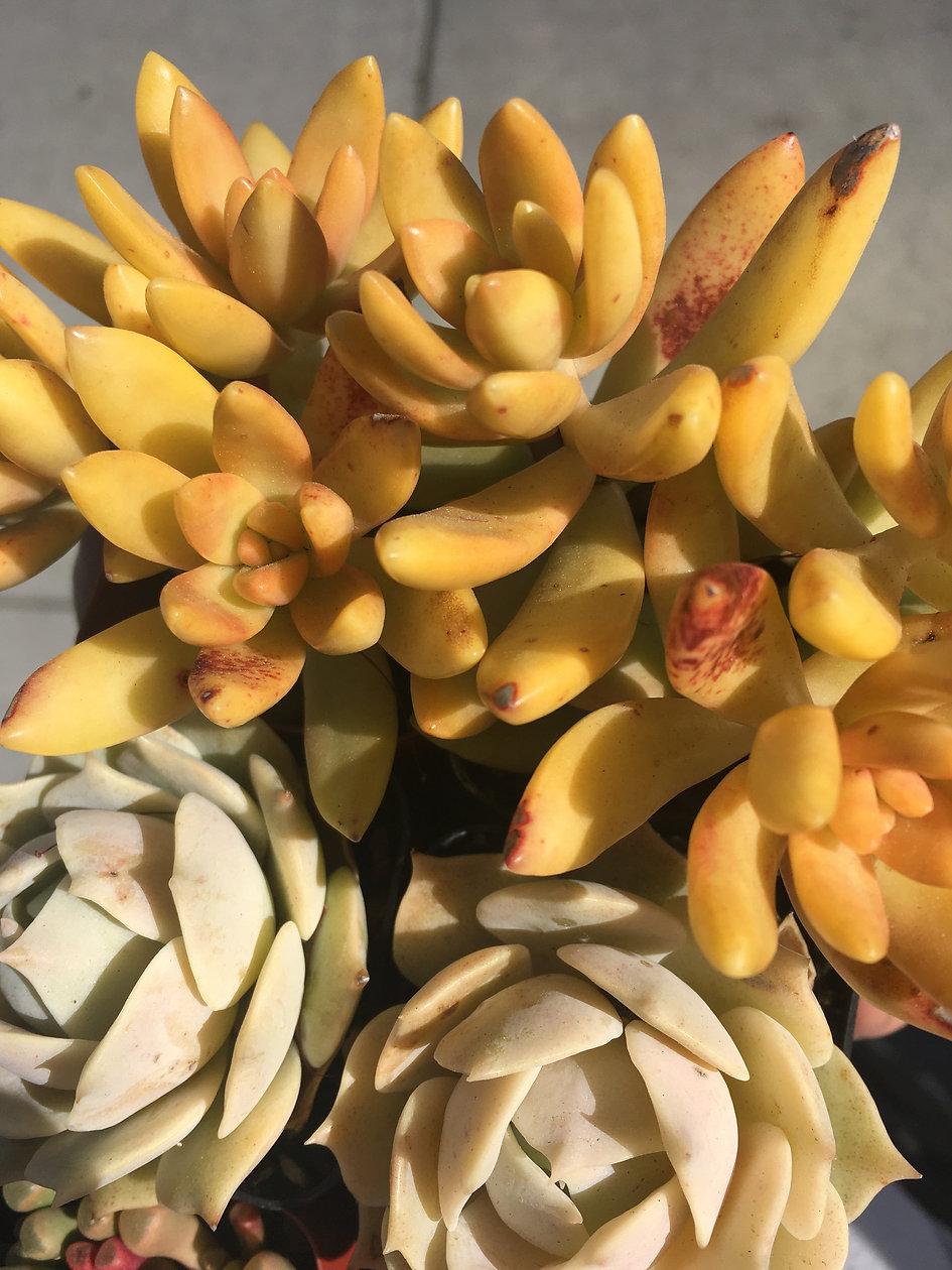 Sunny Succulents.JPG