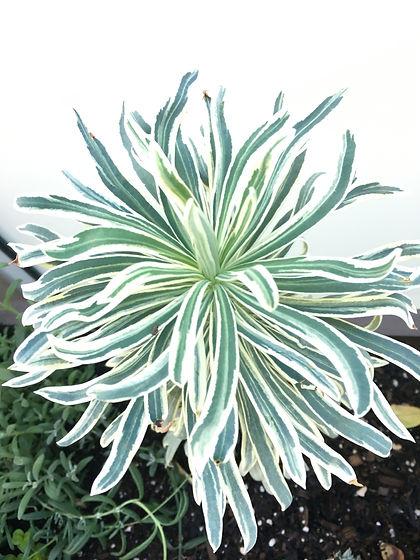 Euphorbia characias glacier blue (2).JPG