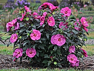 berry awesome hibiscus.jpg
