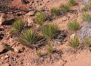 Narrow leaf yucca