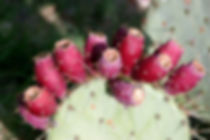 prickly pear cactus too