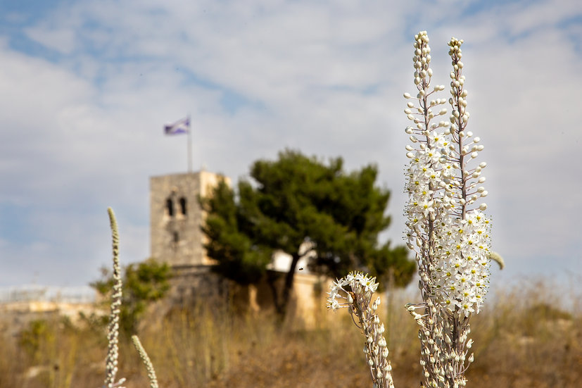 Squills in the Bible Hill, Jerusalem