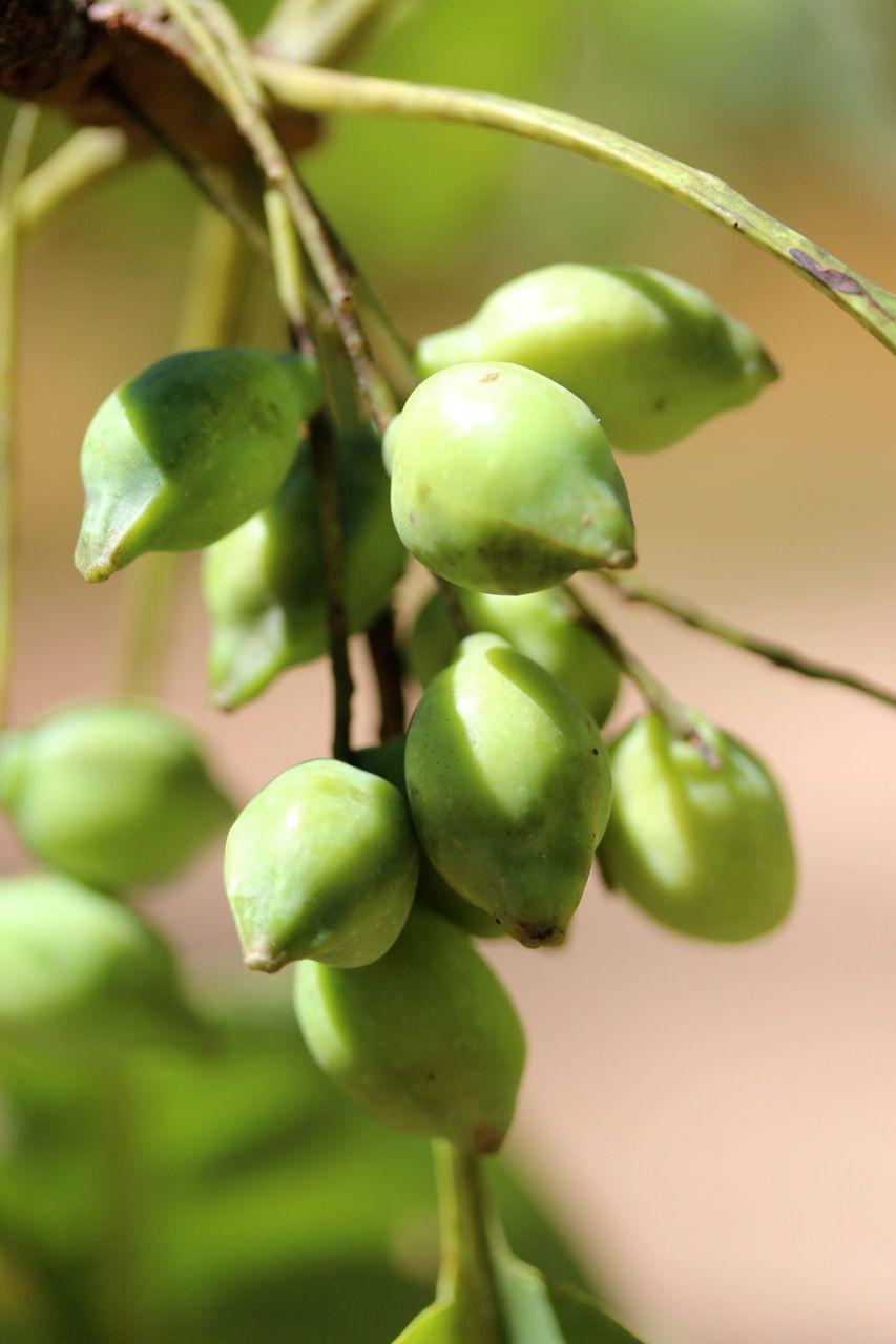 Aloe Vera Plant - Nattura Beauty Products - Vegan Friendly, Organic Ingredient, Wild Harvested