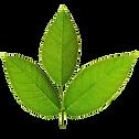 14166051-Hermoso-rbol-de-hojas-de-nogal-