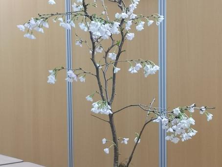 季節の鉢植え《 - 桜 - 》