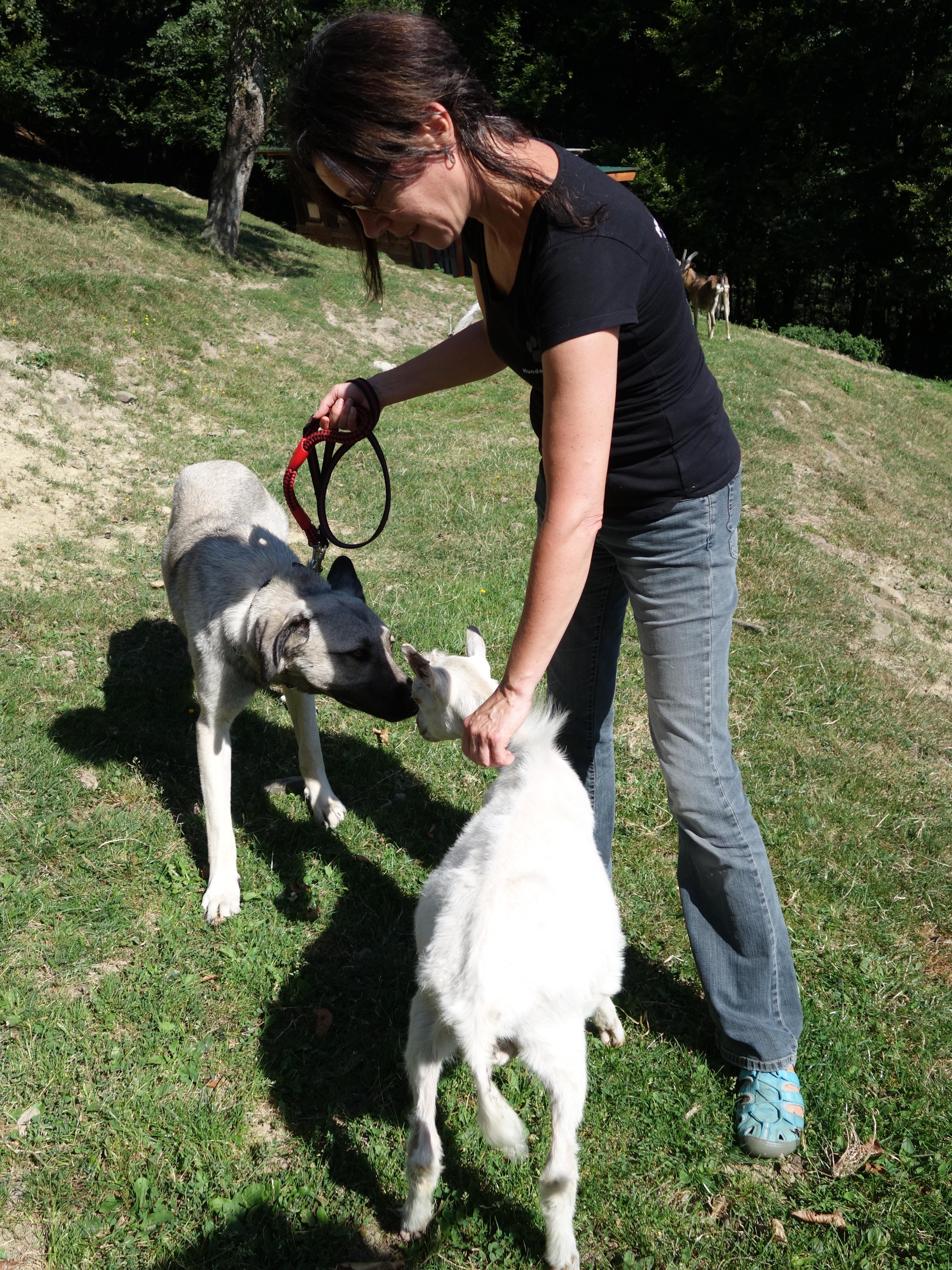 Kangal und Ziege