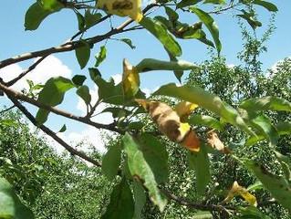 Аэрация корней и удобрение взрослых деревьев