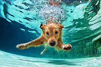 Underwater funny photo of golden labrador retriever puppy in swimming pool play with fun -