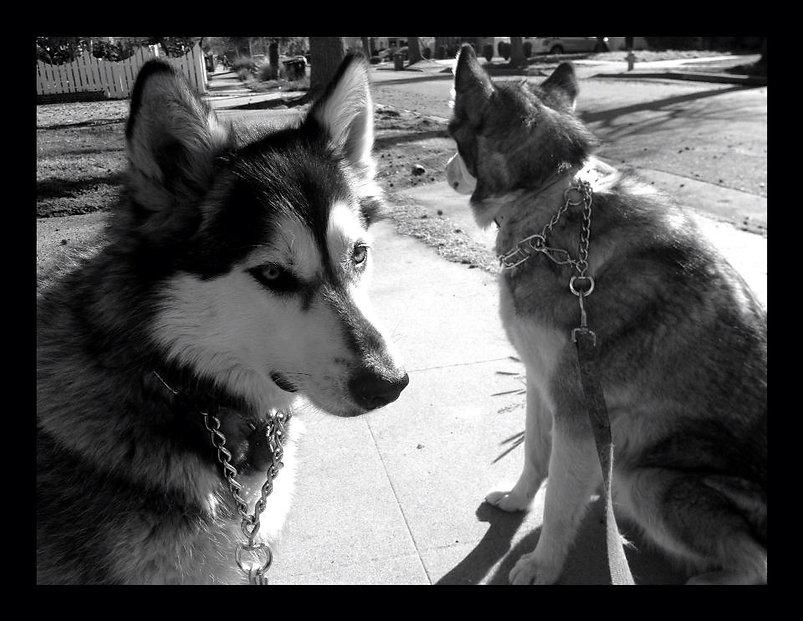 two beautiful malamutes waiting for a walk