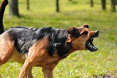 angry dog with bared teeth.jpg