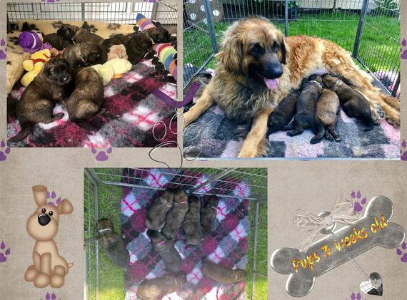 Pups 3 weeks old