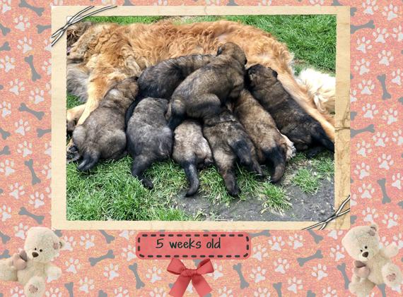 Puppies 5 weeks old