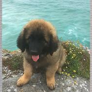 Cornwall 8 weeks old
