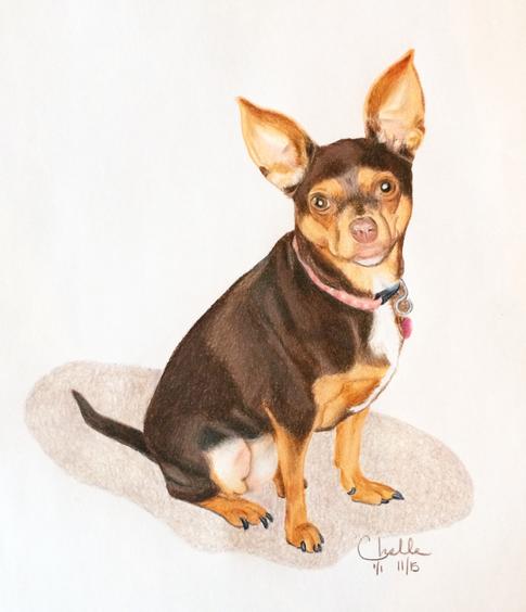 Penny - Chihuahua