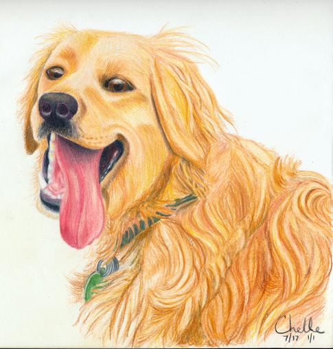 Cody - Golden Retriever