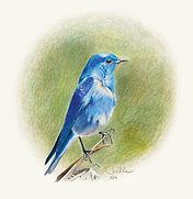 Mountain Bluebird, color pencil illustrations