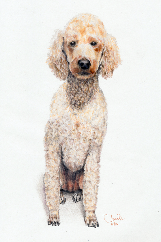 Oliver - Standard Poodle