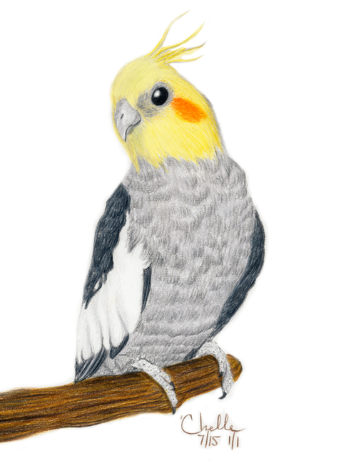 Practice illustration of a Cockatiel
