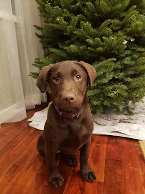 Labrador Puppies in Washington
