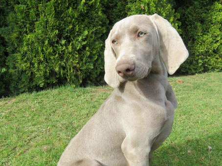 Caring for Your Weimaraner