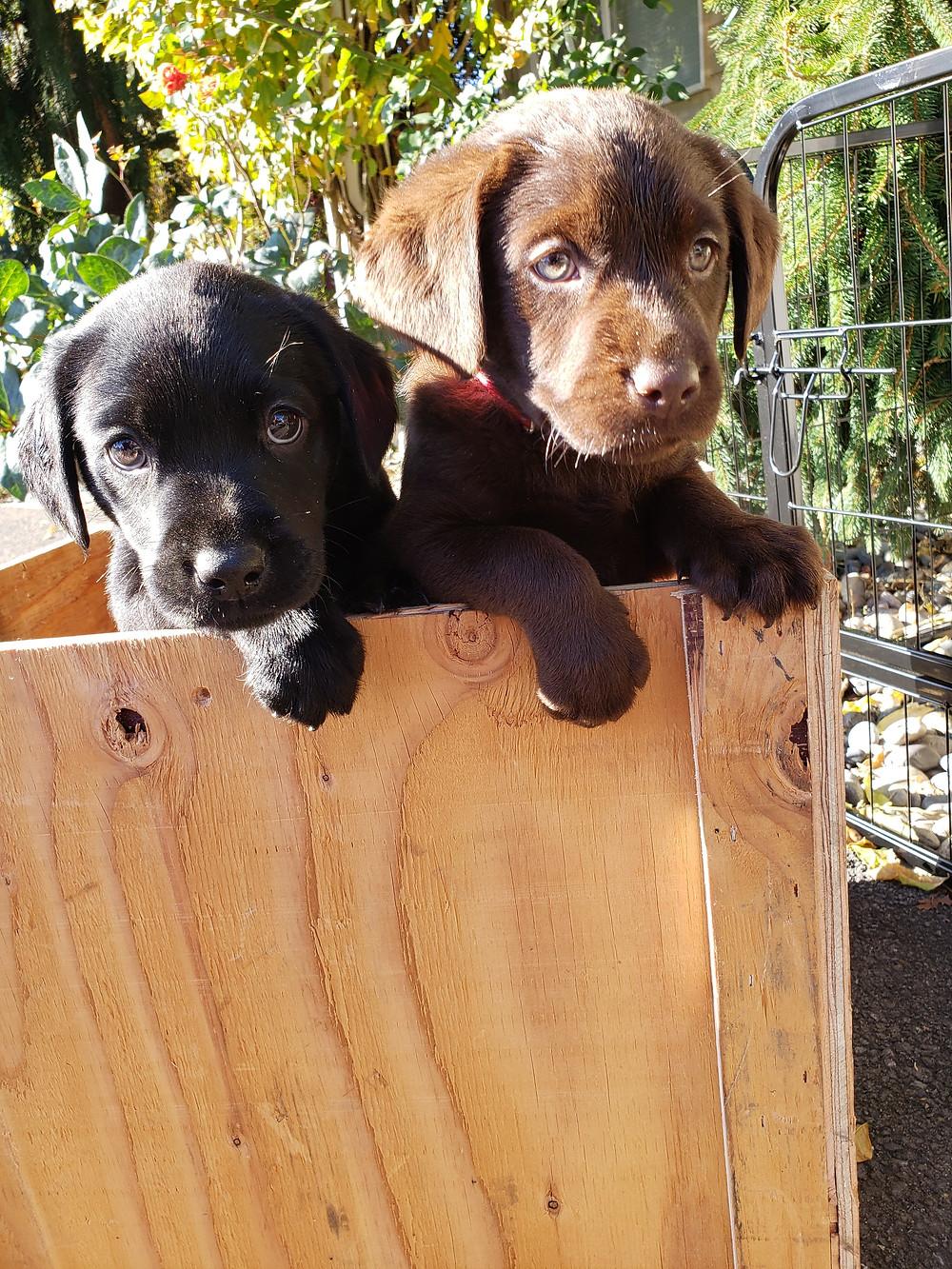 Labrador Retriever Puppy in Washington