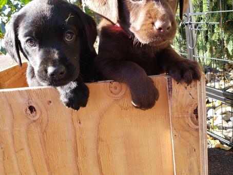 Caring for Your Labrador Retriever
