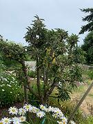 02 Finish pruning fruit trees.JPG