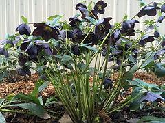 01b Plant Hellebores.JPG
