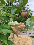 04 monitor fruit trees.JPG