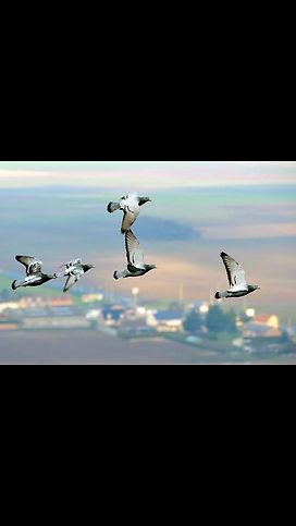 Palomas volando 3.jpg
