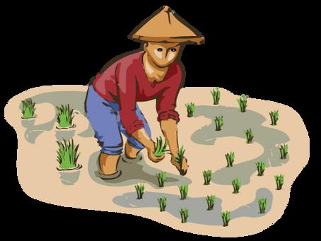 3º Lectura 1 ¿Dónde es el arroz más importante que el trigo?º