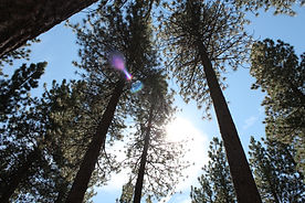 Lake Tahoe Trees with solar flare