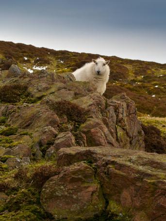 2.Sheep.jpg