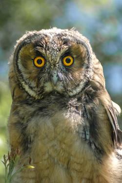 Juvenile Long Eared Owl
