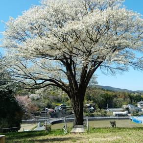 大月町の月光桜🌸最新情報