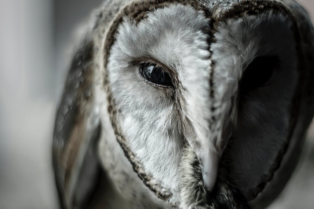 Piercing wisdom and stillness in the eyes of Owl