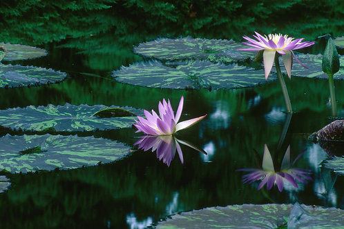 Water Lilies- Missouri Botanical