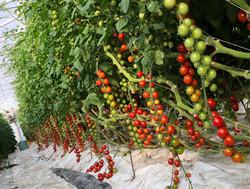 tomates cerises2