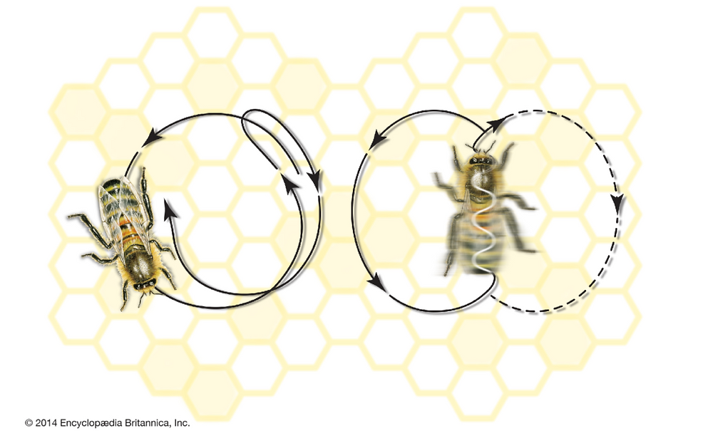 Dance movements of the honeybee: (left) round dance and (right) tail-wagging dance. Encyclopædia Britannica, Inc.