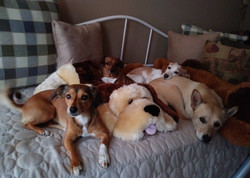 Happy dogs snooze on bed
