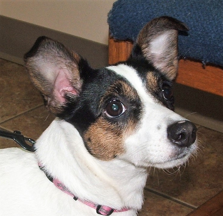 Misty the Jack Russel Terrier