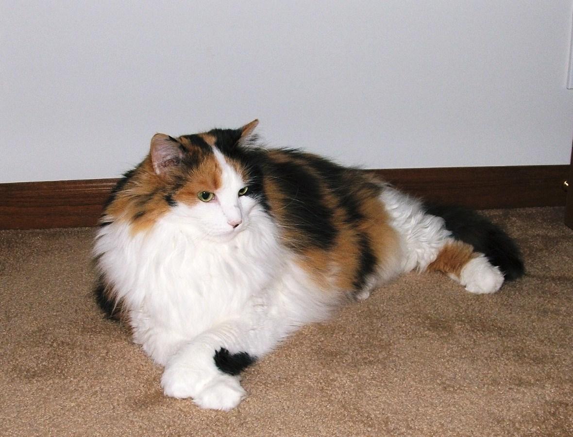 Annie the Calico Cat