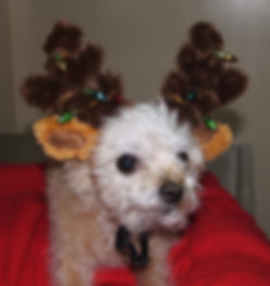 Waldo the dog in his reindeer antlers