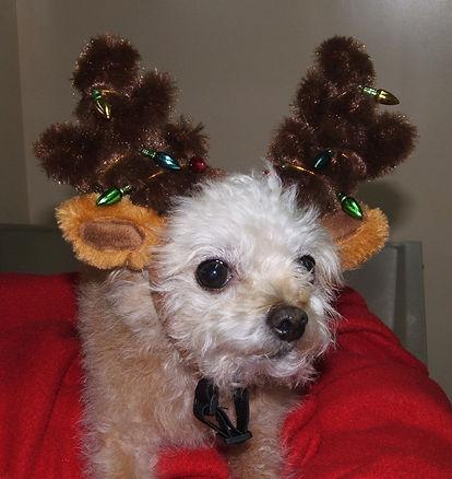 Waldo the dog in his reindeer antlers
