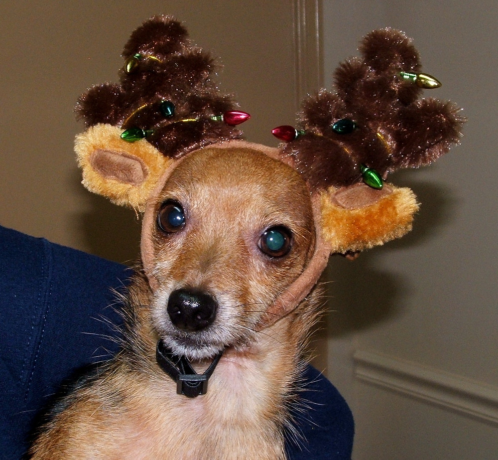 Gilbert the dog with reindeer antlers on!