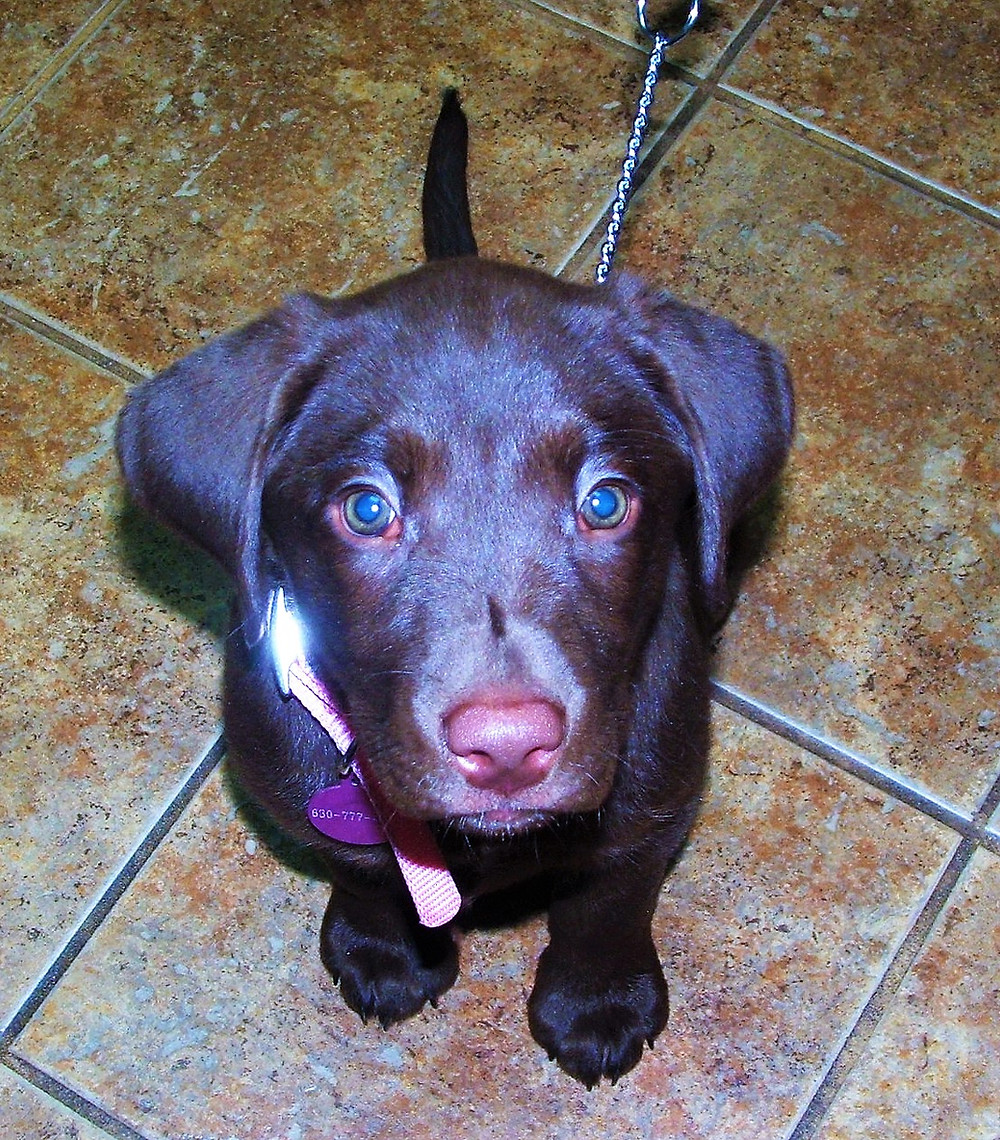 Tootsie the Lab puppy