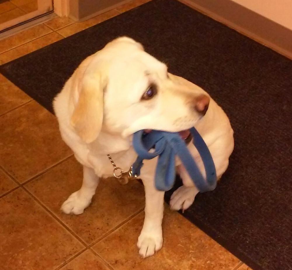 Daisy the Labrador Retriever