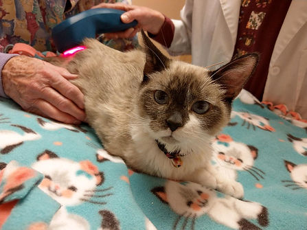 Genevieve the kitten is having Acupuncture and cold laser therapy for back problems