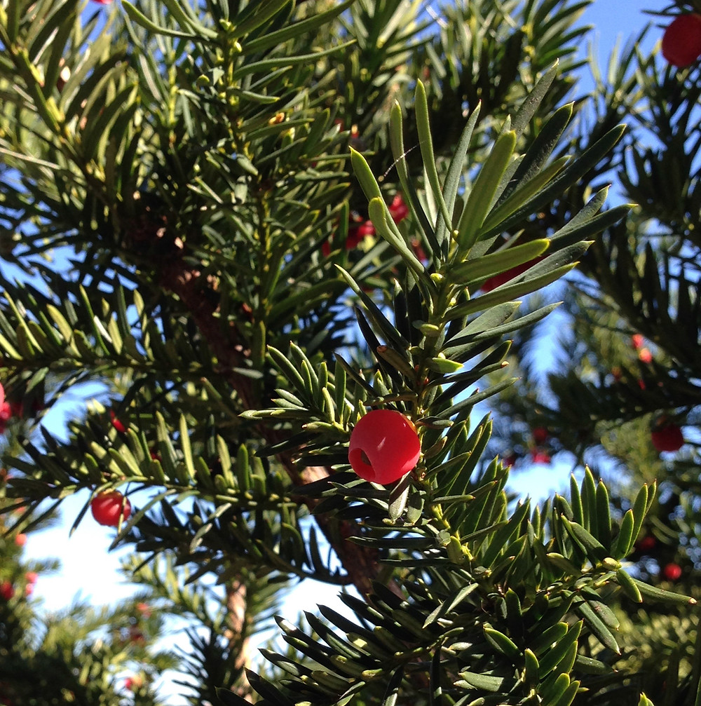 Japanese Yew is toxic to pets